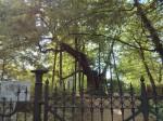 zussammengewachsener Baum naher der Kapelle